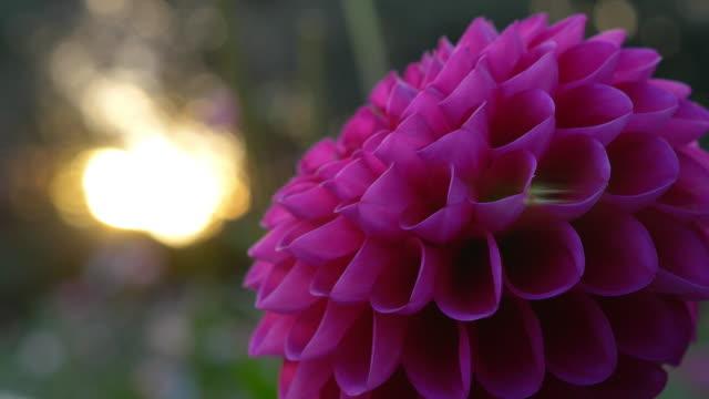 Close up of a Dahiia flower and sunbeam