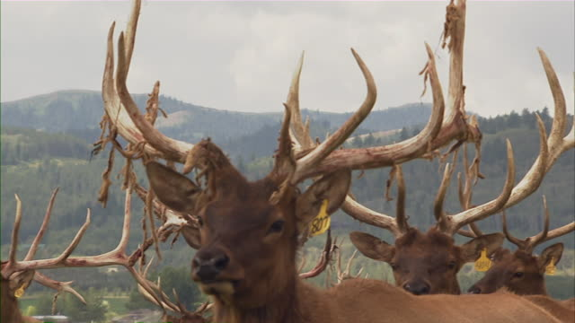 close up of a deer with large antlers.  camera follows as the deer moves. - livestock tag stock videos and b-roll footage
