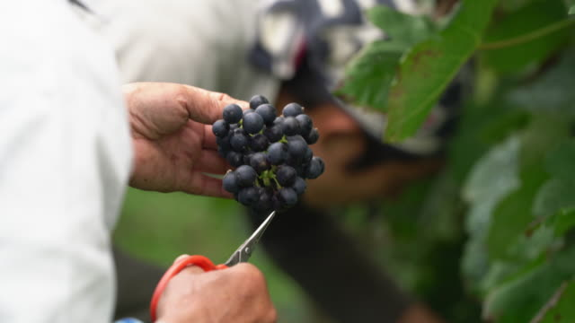 close up of a farmer inspecting freshly harvested grapes for any imperfections, rotting or bugs - vineyard stock videos & royalty-free footage