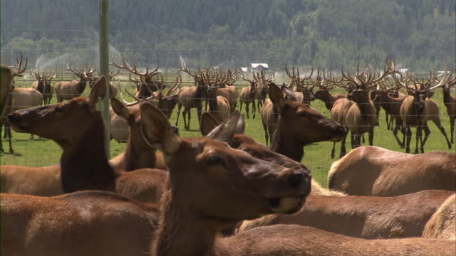 close up of a female elk with many other deers around and behind her. - livestock tag stock videos and b-roll footage