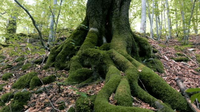 close up of a forest beech tree - root stock videos & royalty-free footage