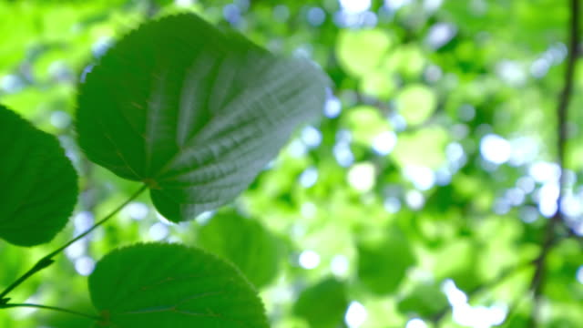 Close up of a fresh green tree leaf moving in a gentle breeze with dappled defocus sunlight passing through the trees canopy above