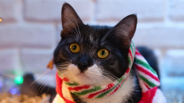 close up of a funny cat dressed in a christmas outfit sitting on the carpet in a living room. - antler stock videos & royalty-free footage