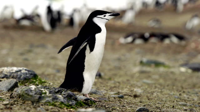 close up of a gentoo penguin chick - eco tourism stock videos & royalty-free footage