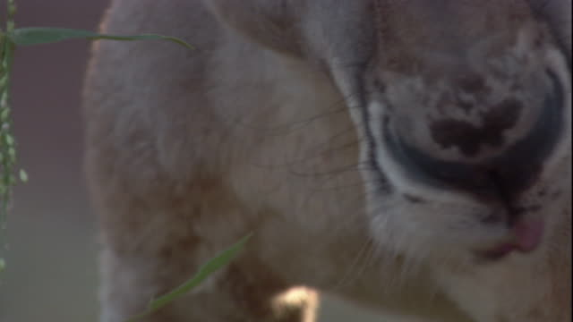 Close up of a grazing red kangaroo, New South Wales. Available in HD.