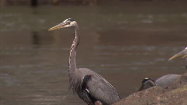 close up of a great blue heron on riverbank - kleine gruppe von tieren stock-videos und b-roll-filmmaterial