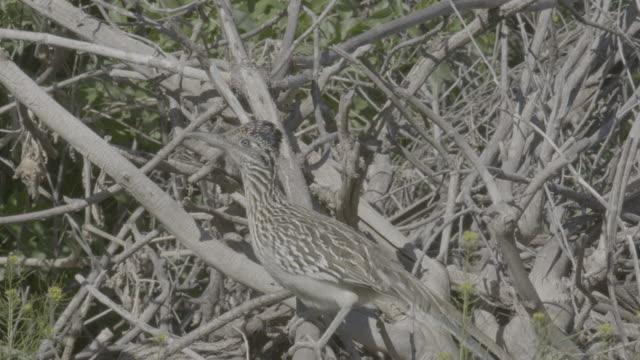 stockvideo's en b-roll-footage met close up of a greater roadrunner sitting on a branch - renkoekoek