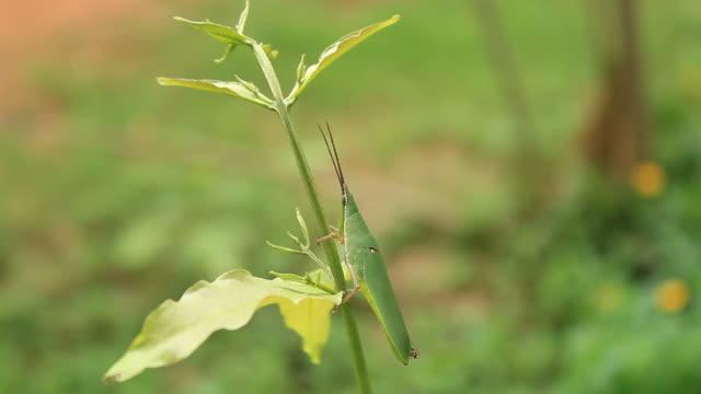 Close up of a green grasshopper