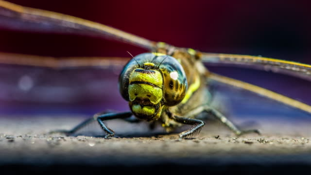 Close up of a hawker dragonfly