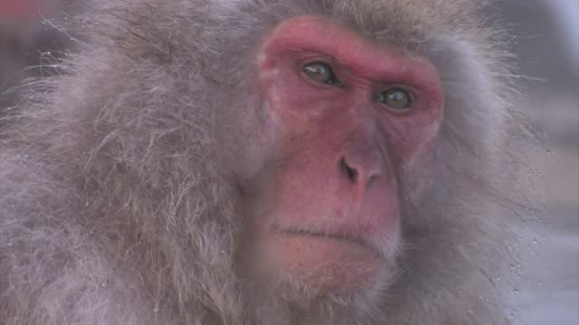 close up of a japanese macaque (macaca fuscata) - jigokudani monkey park stock videos & royalty-free footage