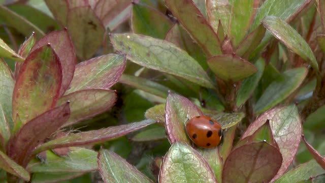 close up of a ladybird on an azalea plant - heather stock videos & royalty-free footage