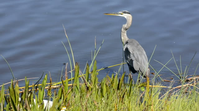 close up of a large heron and blue water - great blue heron stock videos and b-roll footage