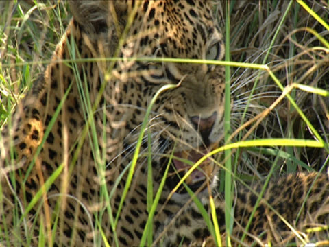 close up of a leopard (panthera pardus) licking the head of her cub, partially obscured by long grass. mala mala, south africa. - großwild stock-videos und b-roll-filmmaterial