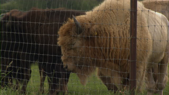 close up of a light-brown buffalo brushing against a fence. - recinzione video stock e b–roll