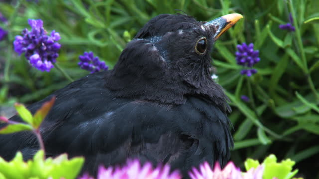 close up of a male blackbird also known as the eurasian blackbird standing amongst flowers - johnfscott stock videos & royalty-free footage
