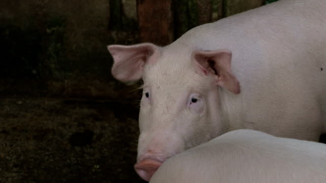 Close up of a pig's face