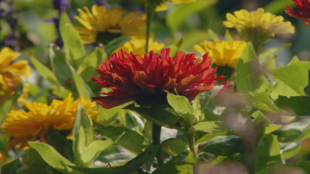 Close up of a red bee balm flower mixed with yellow flowers