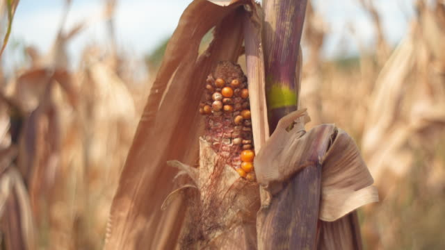 close up of a rotten corn in the middle - dead stock videos & royalty-free footage