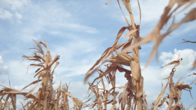 close up of a rotten corn in the middle - land stock videos & royalty-free footage