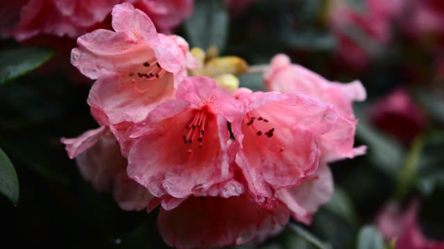 close up of a salmon pink rhododendron - rhododendron stock videos and b-roll footage