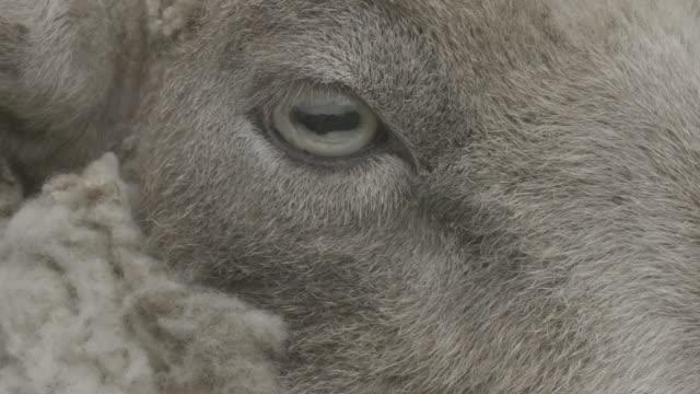 close up of a sheep's rectangular pupils - mutterschaf stock-videos und b-roll-filmmaterial