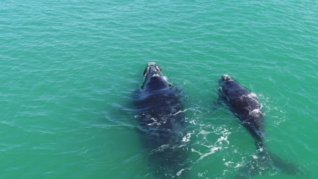 close up of a southern right whale calf and mother - southern right whale stock videos & royalty-free footage