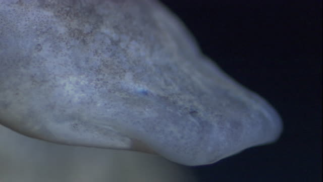 close up of a texas blind salamander. available in hd. - cliff dwelling stock videos & royalty-free footage