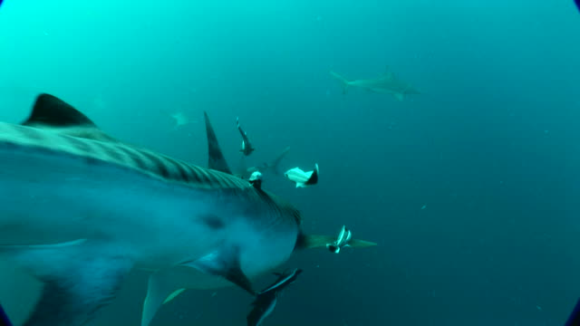 close up of a tiger shark underwater - tiger shark stock videos & royalty-free footage