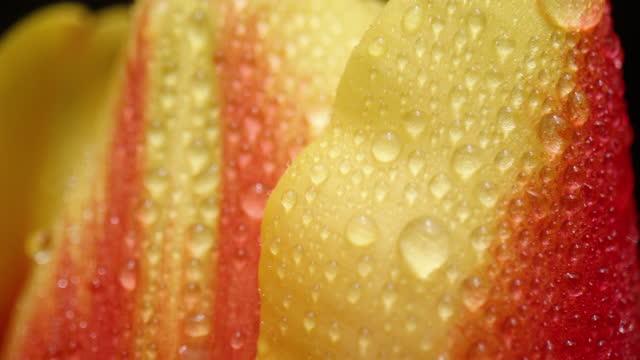 チューリップの花頭を閉じる - チューリップ点の映像素材/bロール