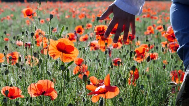 close up of a woman's hand passing through the blossoming poppy flowers in a vast agricultural field, beautiful bright sunlight, slow motion, wanderlust, hands in work, helping hands, backlit - environmental issues stock videos & royalty-free footage