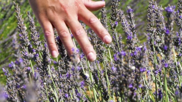 close up of a women hand caressing lavender flowers in slow motion. - scented stock videos & royalty-free footage