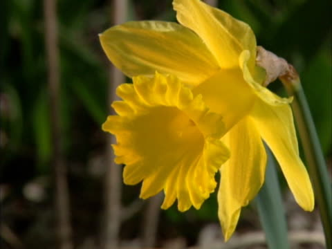 close up of a yellow daffodil in a gentle breeze. - lily family stock videos & royalty-free footage