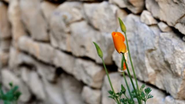 石の壁の横にあるだけで成長している黄花のクローズ アップ。