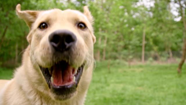 SLO, MO, Nahaufnahme von einem yellow labrador retriever