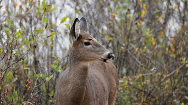 close up of a young deer on rainy day of october, parc du mont tremblant, quebec, canada - deer stock videos & royalty-free footage