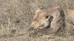 close up of a young lion cub eating a warthog in serengeti