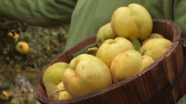 close up of abundance of freshly picked quinces in a wooden basket - mid section stock videos & royalty-free footage