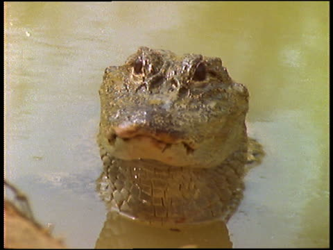 close up of alligator head sticking out of water / staring into camera - aquatic organism stock videos & royalty-free footage