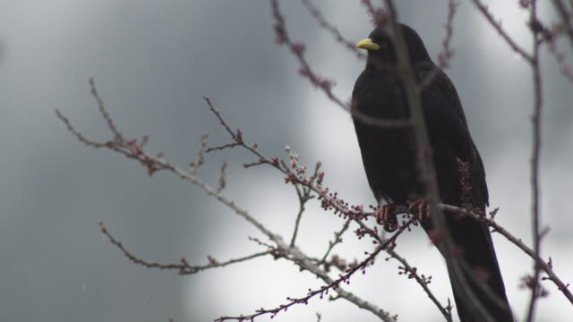 close up of alpine chough sitting in a tree and flying away - branch stock videos & royalty-free footage
