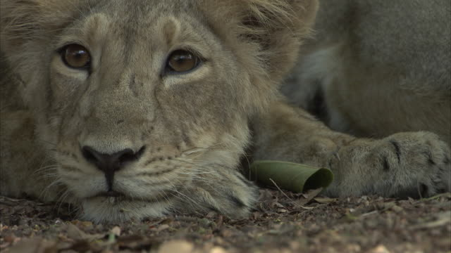 A close up of an Asiatic lion cub (panthera leo persica) lying down while looking  towards the camera