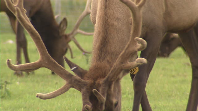 close up of an elk's antlers, then tilt down to its head. - livestock tag stock videos and b-roll footage