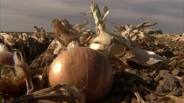 Close up of an onion lying in the field.