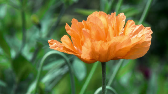 Close up of an orange poppy in Scottish garden