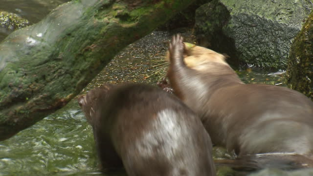close up of an otter having fun in the water playing with fruit nuts, by putting them in its mouth and when they fall out, he pops them back in by... - otter stock-videos und b-roll-filmmaterial