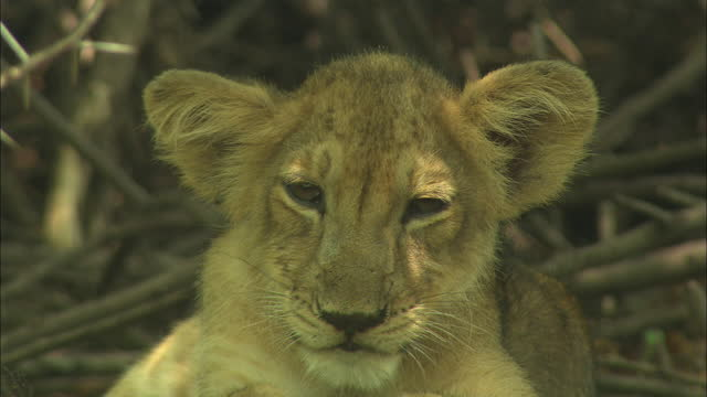 close up of an sleepy asiatic lion cub - animal hair stock videos & royalty-free footage