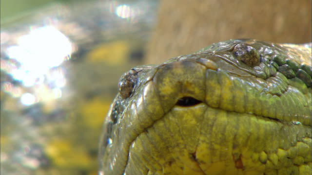 vídeos de stock, filmes e b-roll de close up of anaconda flicking out its tongue - part of