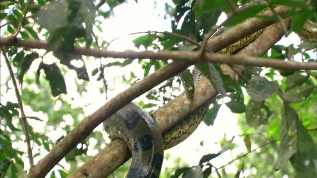 Close up of Anaconda twisting around branch on Amazon Rainforest