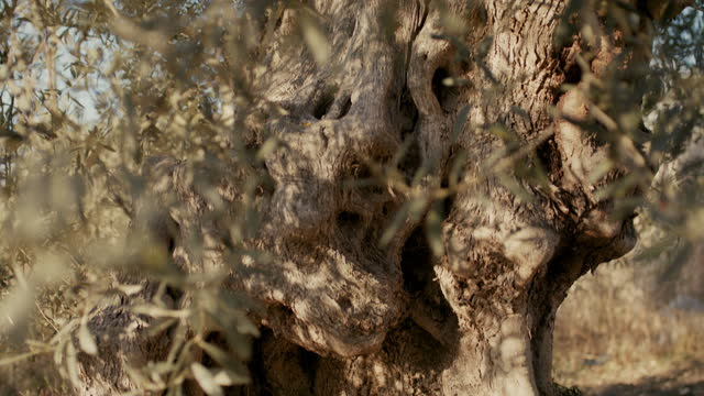 close up of ancient olive tree in italy - eternity stock videos & royalty-free footage