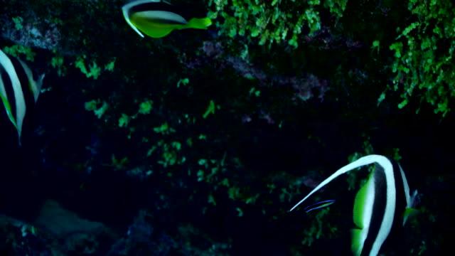 close up of angelfish swimming by reef - エンゼルフィッシュ点の映像素材/bロール