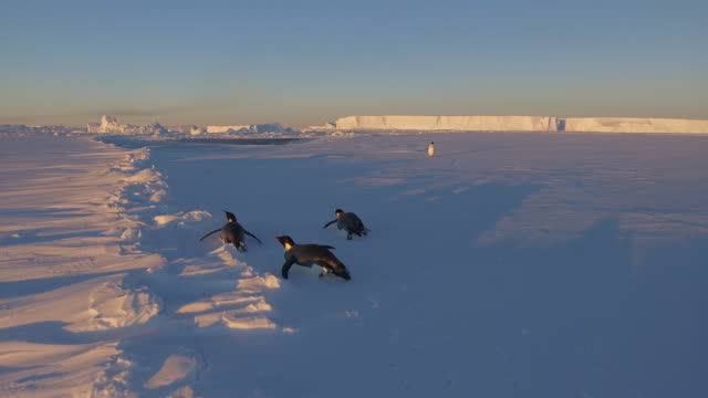 close up of antarctic emperor penguins sliding on their belly's together at sunset on the sea ice close to the berthing point for resupply of the... - sliding stock videos & royalty-free footage
